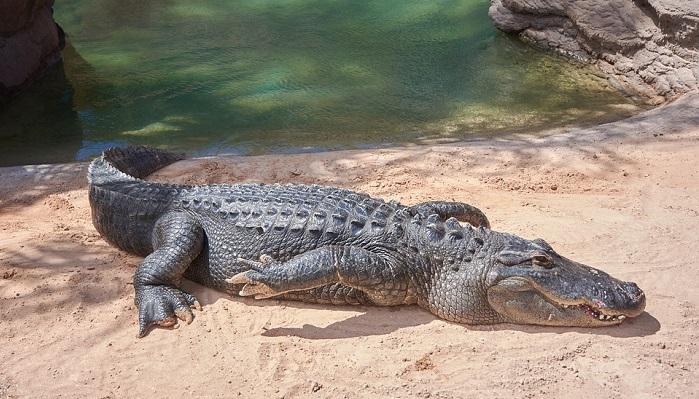 aligator in vis, semnificatie