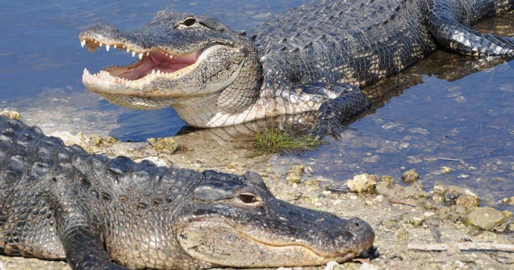 ce inseamna cand visezi crocodili