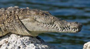 crocodil sau aligator in vis, ce inseamna